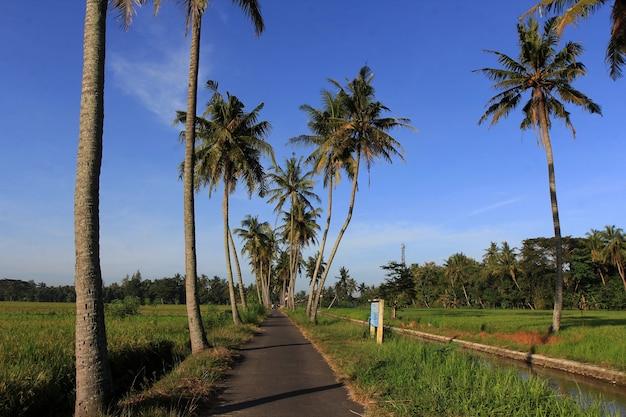 Des cocotiers poussent au bord des rizières