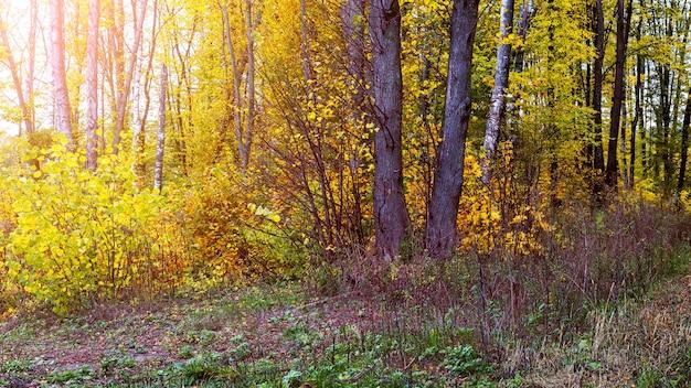 Coin pittoresque de la forêt avec des arbres jaunes à la lumière du soleil