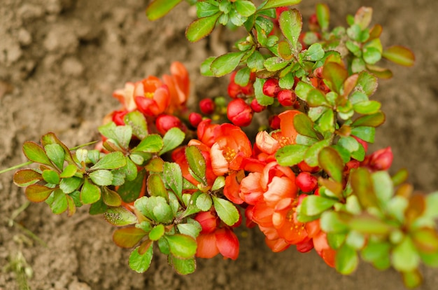 Coing japonais en fleurs. chaenomeles japonica.