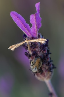 Coleophora alticolella est un papillon de la famille des coleophoridae