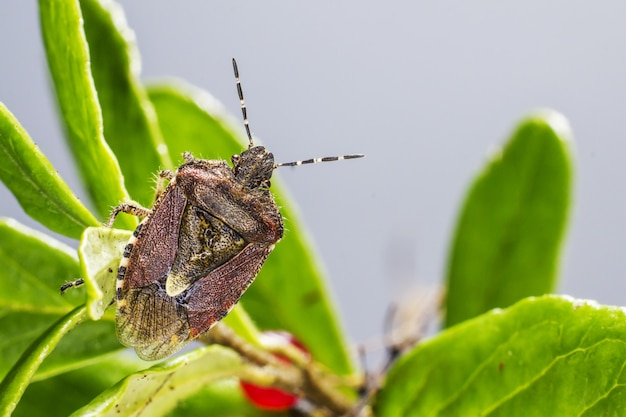 Coléoptère brun assis sur une plante close up