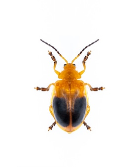 Coléoptère à deux points (oides andreweisi) isolé. animal. insecte.