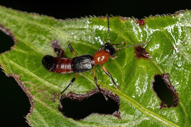 Coléoptère du coup du lapin adulte du genre paederus