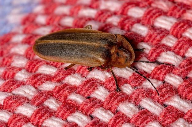 Coléoptère firefly adulte de la famille des lampyridae
