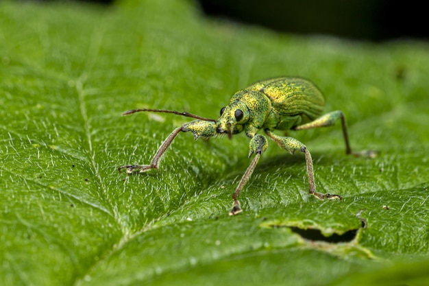 Coléoptère vert assis sur feuille