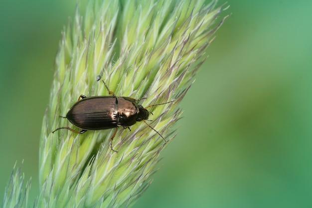 L'un des coléoptères amara au sol sur un brin d'herbe