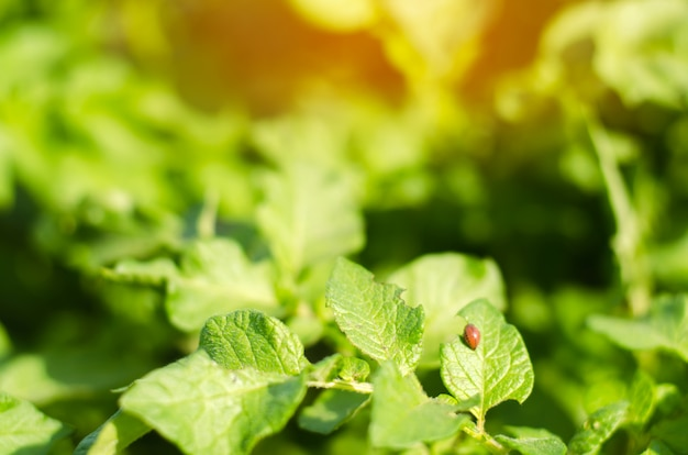Coléoptères de la pomme de terre du colorado (leptinotarsa decemlineata) sur un gros plan de pommes de terre