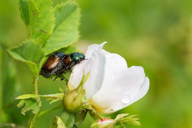 Les coléoptères se reproduisent sur le cynorrhodon.