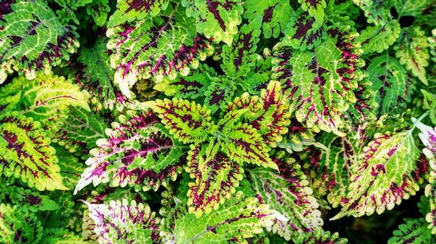 Coleus coloré plante dans un jardin.