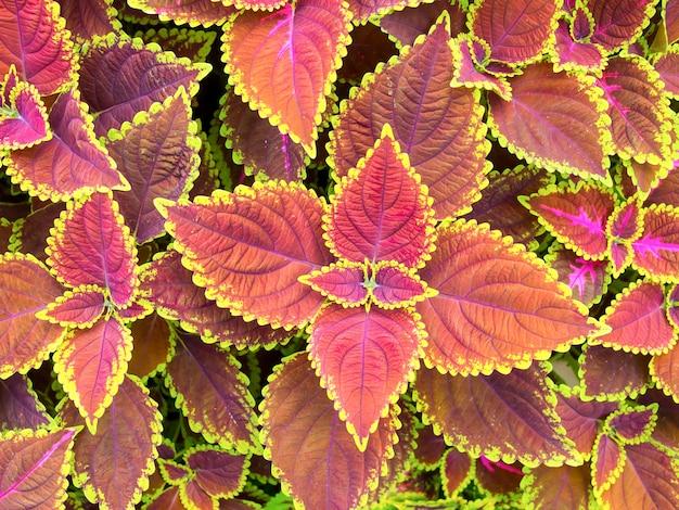 Coleus avec des feuilles vertes et brunes pour le fond