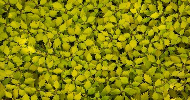 Coleus - wizard scarletfond de plantes naturelles. texture abstraite.