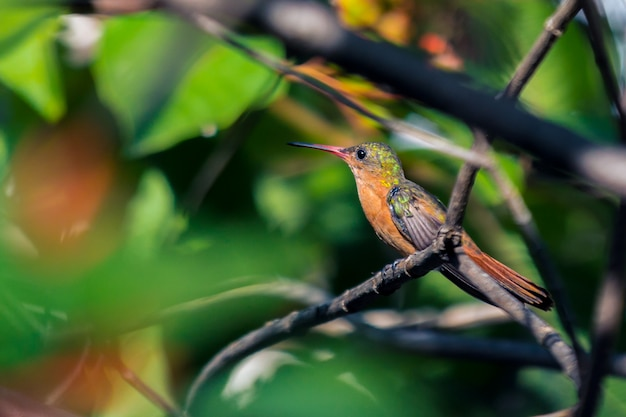 Colibri sur une branche