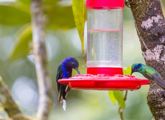 Colibri coloré au costa rica, amérique centrale