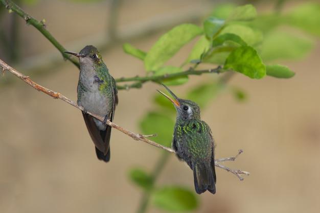 Colibris perchés sur une branche d'arbre