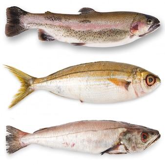 Collage de poisson frais en blanc