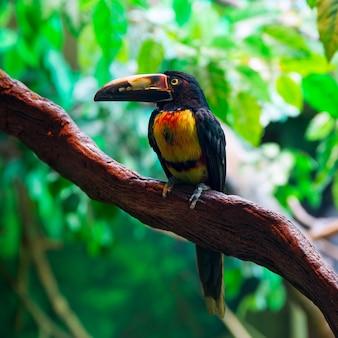 Collar aracari agarrado pteroglossus torquatus toucan
