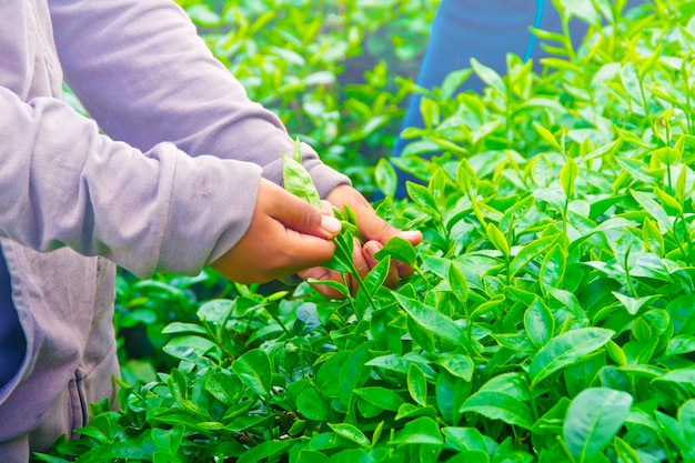 Collecte de feuilles de thé.