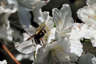 Collecte de nectar