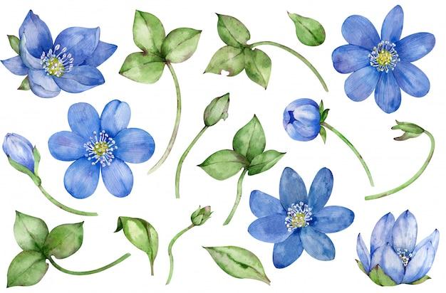 Collection aquarelle de fleurs de printemps bleu hepatica isolé sur blanc ensemble floral dessiné à la main.