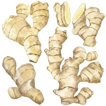 Collection d'aquarelle de gingembre cru ou de curcuma