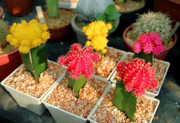 Collection de cactus hibotan en pot coloré ou de plantes de cactus de lune à la véranda de la maison