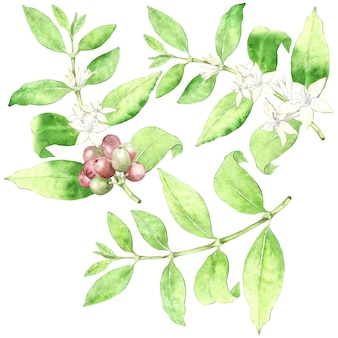 Collection de plants de café aquarelle
