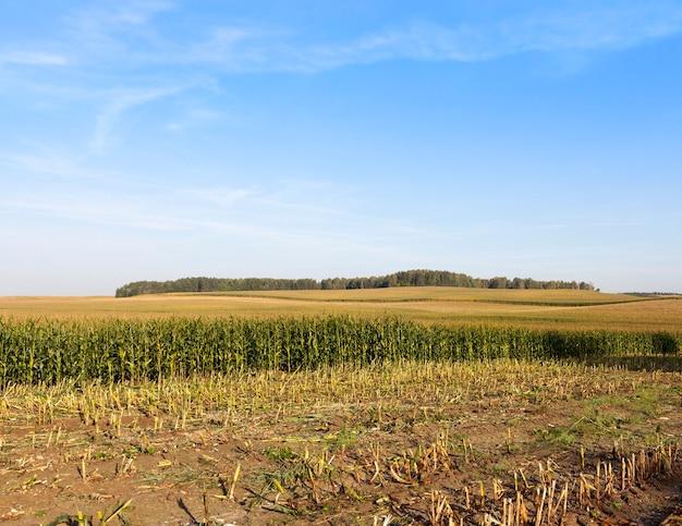 Collection de récolte de maïs vert pour l'ensilage et la nourriture pour vaches, paysage d'été