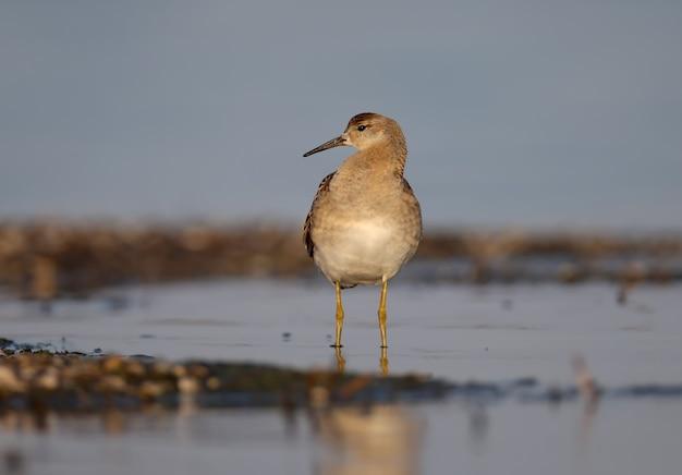 La collerette (calidris pugnax) en plumage d'hiver filmée dans les rayons de la douce lumière du matin.
