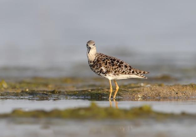 La collerette (calidris pugnax) en plumage d'hiver se dresse sur le rivage
