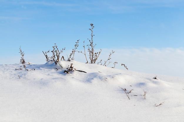 Une colline couverte de neige en hiver, de fines branches d'herbe sèches poussent sur le dessus contre un ciel bleu, gel