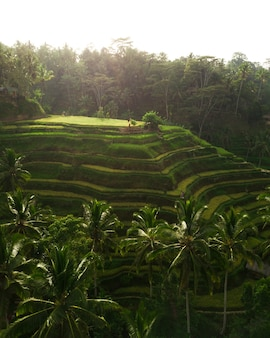 Collines de riz entourées de verdure et d'arbres