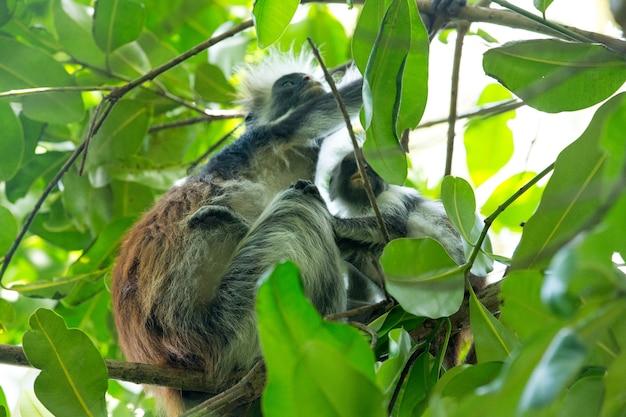 Colobe rouge piliocolobus kirki monkey sur le bois déposé, forêt de jozani, zanzibar, tanzanie