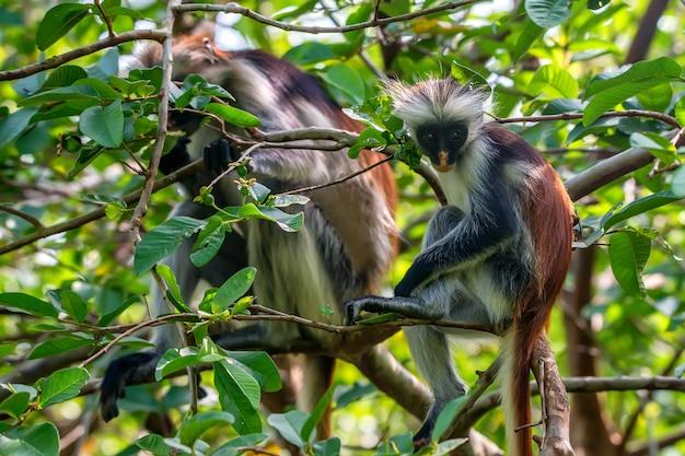 Colobe rouge de zanzibar ou procolobus kirkii dans la jungle