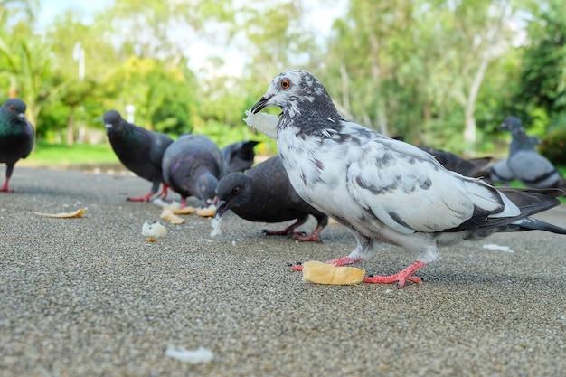 La colombe blanche ou le pigeon (columba livia) est debout et mange du pain sur le trottoir du pubic