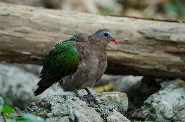 Colombe émeraude ou pigeon vert