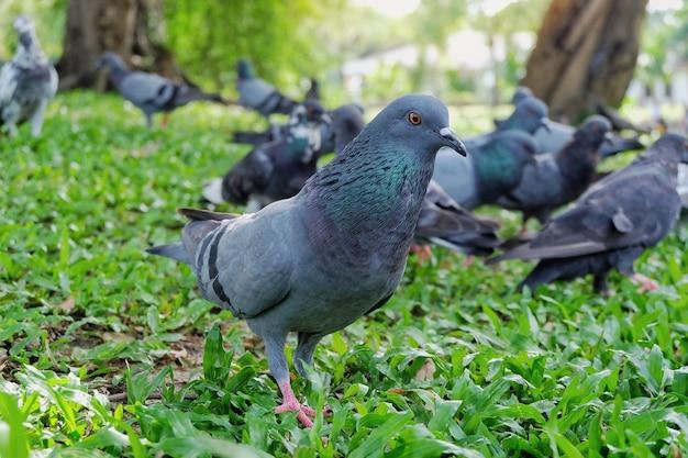 Colombe grise ou pigeon (columba livia) est debout et mange du pain sur l'herbe verte dans le pub