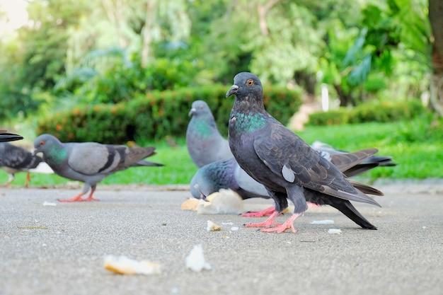 Colombe grise ou pigeon (columba livia) se tient debout et mange du pain sur le trottoir du pub