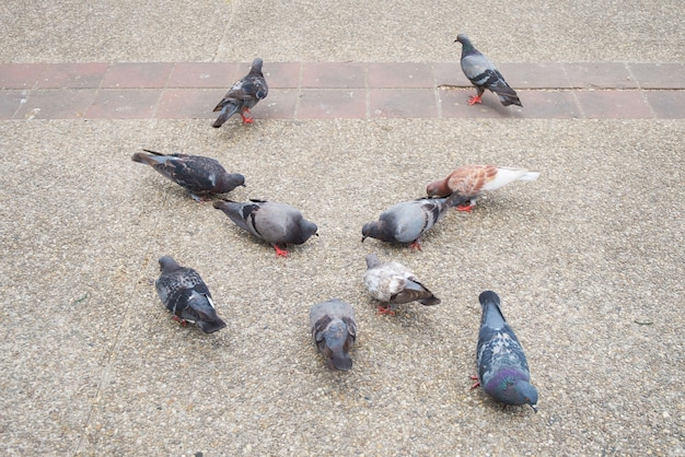 Colombe ou pigeon gris, blanc, brun et noir (columba livia)