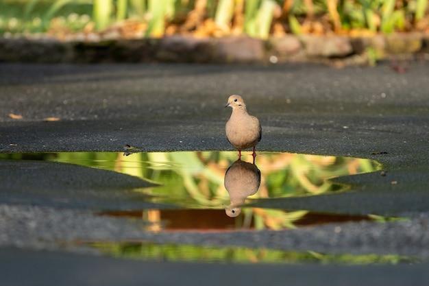 Colombe reflétée dans une flaque d'eau à l'extérieur