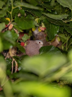 Colombe rousse adulte de l'espèce columbina talpacoti