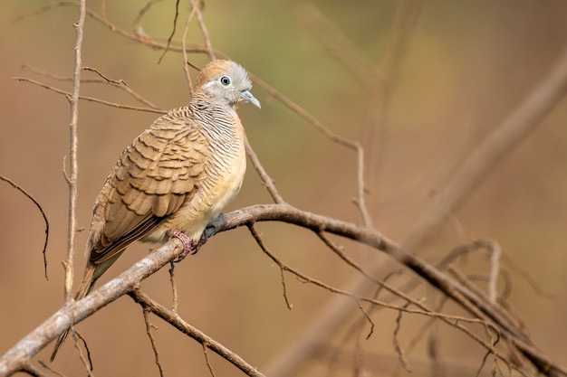 Colombe zèbre sur une branche sur la scène de la nature. animal. des oiseaux.