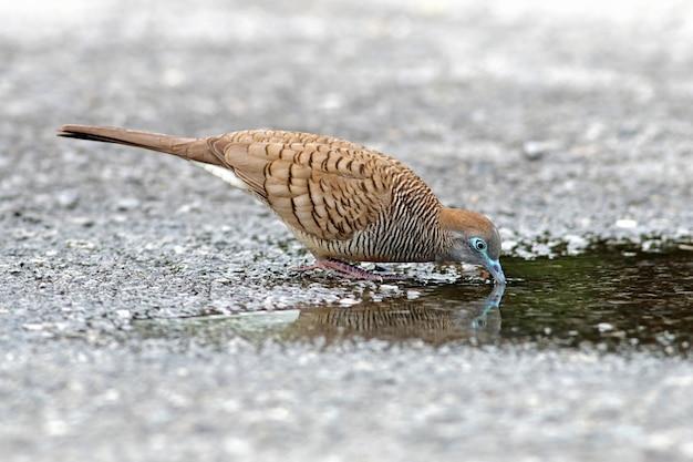 Colombe zèbre geopelia striata oiseau se nourrissant de l'eau