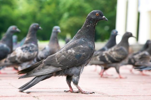 La colombe sur la zone par rapport aux autres pigeons