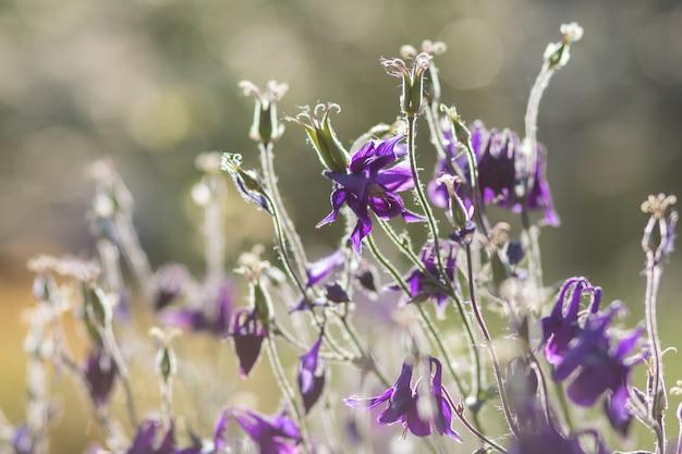 Colombine mauve et bleue en fleurs