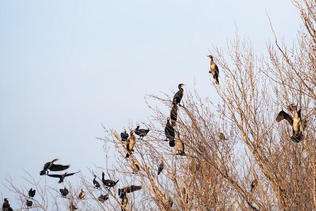 Colonie de cormorans assis sur les branches d'un arbre