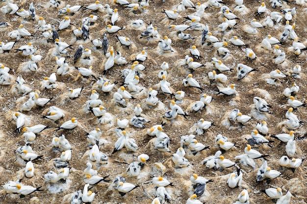 Colonie de fou de bassan à muriwai beach, nouvelle-zélande