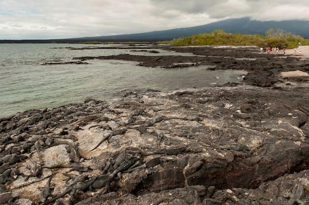 Colonie d'iguanes marins (amblyrhynchus cristatus), punta espinoza, île fernandina, îles galapagos, équateur