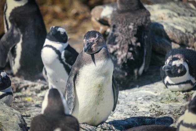 Colonie de pingouins africains dans la baie de betty, afrique du sud