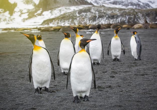 Une colonie de pingouins en antarctique, de beaux pingouins allant à l'eau