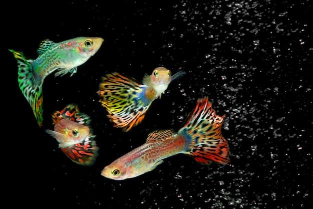 Colonie de poissons guppy colorés isolés sur fond noir